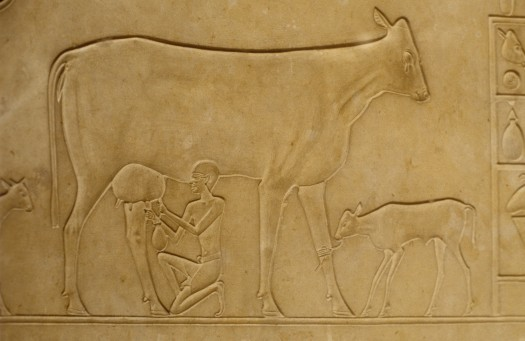 Relief stone carving of man milking cow with calf tethered nearby Egyptian Museum of Antiquities Cairo Egypt