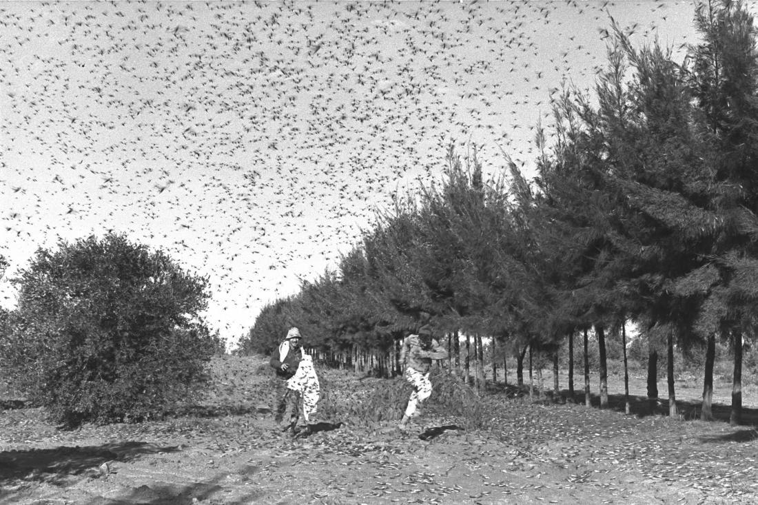 חגבים (ארבה) בקיבוץ סעד, 1955