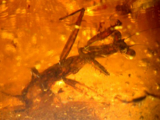 mantis fossil