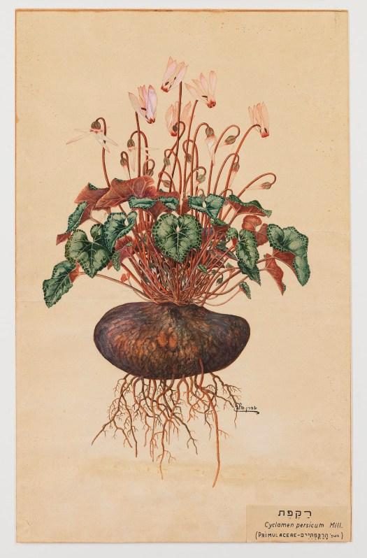 אהרן הלוי, רקפת 1920 בקירוב.jpg