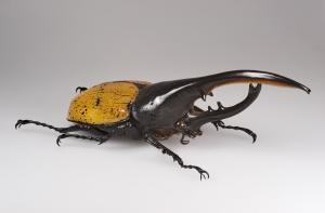 חיפושית הרקולס, קרדיט: Didier Descouens